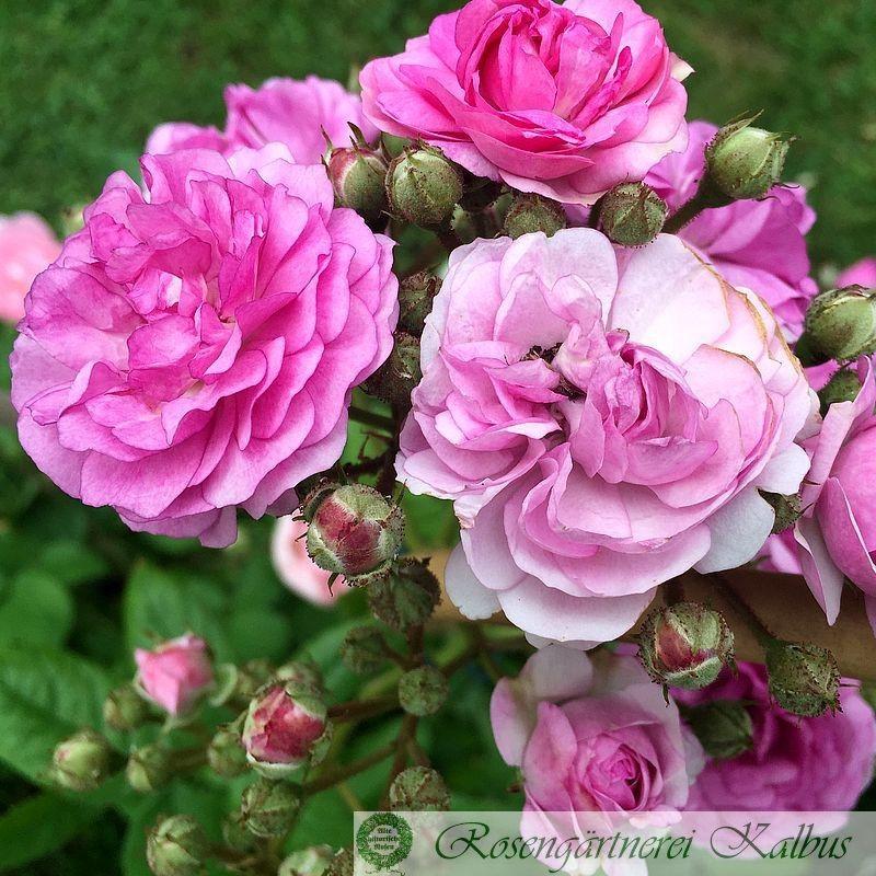 Kletterrose Rose-Marie Viaud