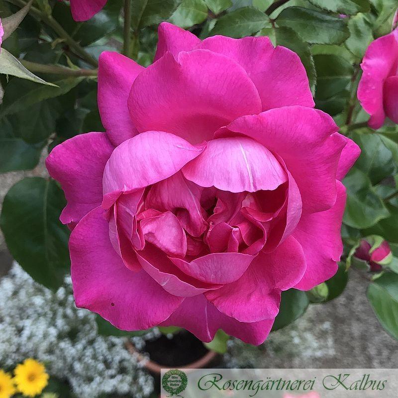 Moderne Rose Manou Meilland®
