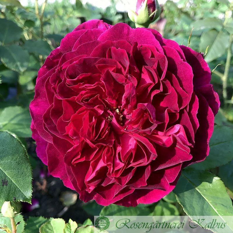 Englische Rose Munstead Wood®