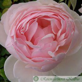 Besondere Rose Madame Figaro®