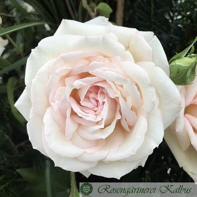 Edelrose Madame Anisette®