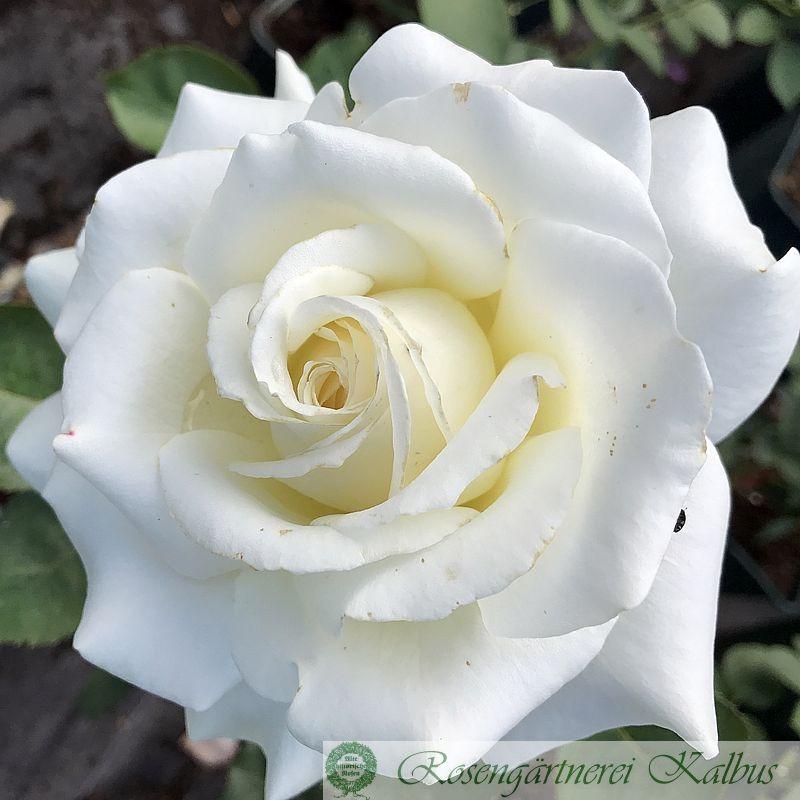 Edelrose Memoire®