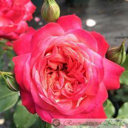 Moderne Rose Midsummer®