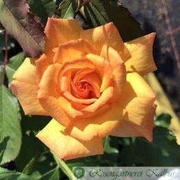 Moderne Rose Sahara®