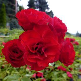 Hagebuttenrose Scarlet Meidiland®