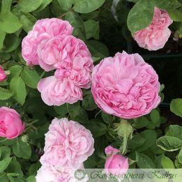 Historische Rose Sidonie