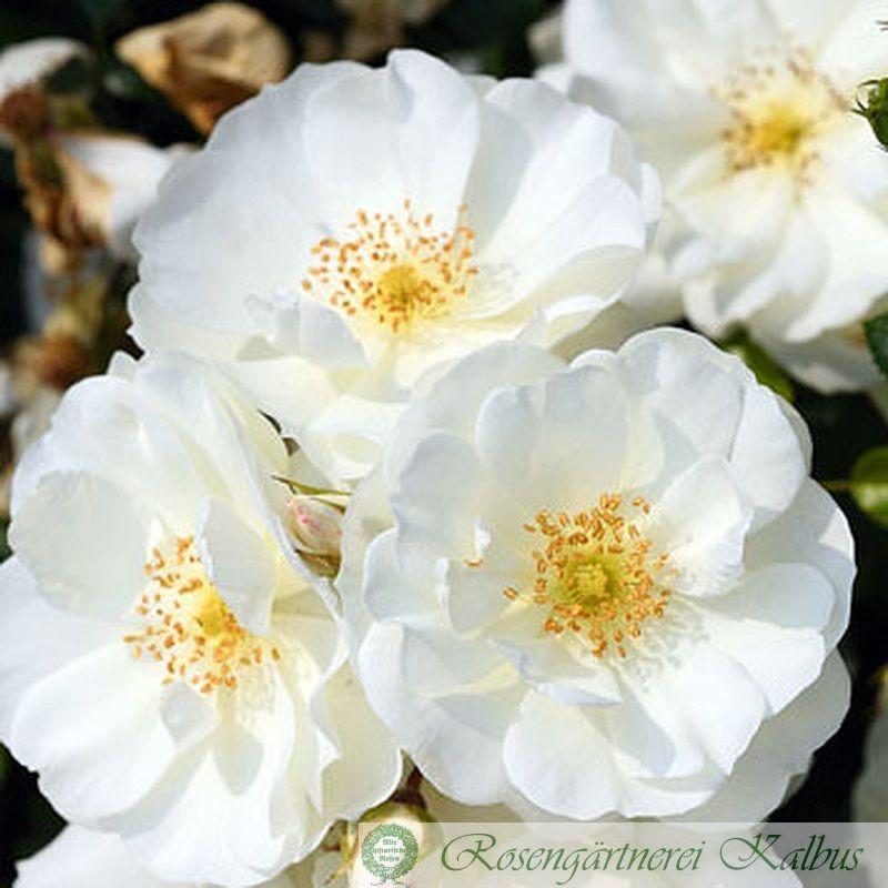 Moderne Rose Schneeflocke®