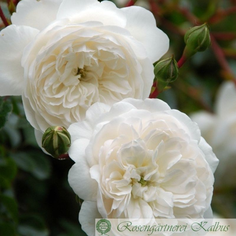 Moderne Rose Snow Ballet