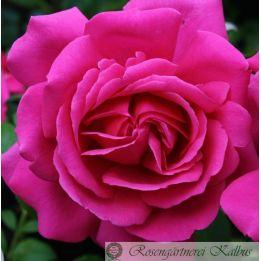 Besondere Rose Saint Exupéry®