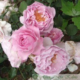 Besondere Rose Souvenir de Louis Amade®