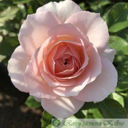 Moderne Rose Schloß Eutin®
