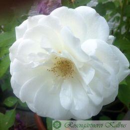 Moderne Rose Schneewittchen®