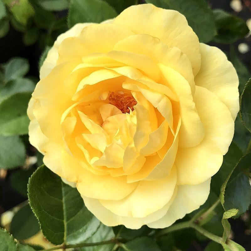 Moderne Rose Shining Light®