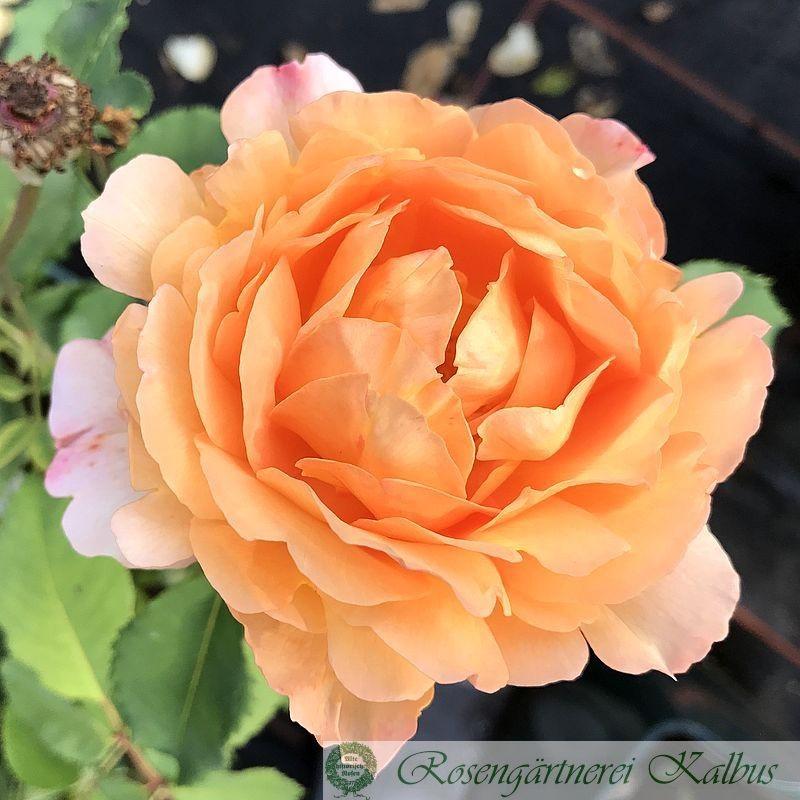 Moderne Rose Sonnenwelt®