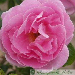 Historische Rose Sarah van Fleet