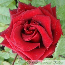 Moderne Rose Schwarze Madonna®