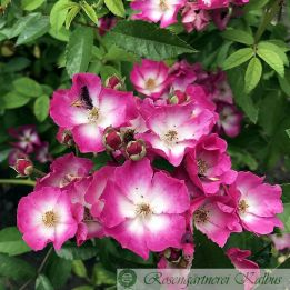 Historische Rose Schubert