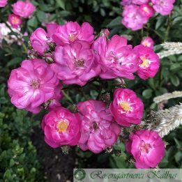 Historische Rose Sibelius®