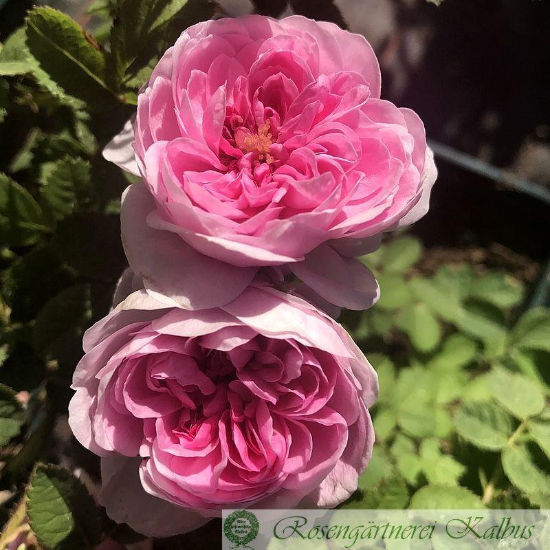 Historische Rose Spong