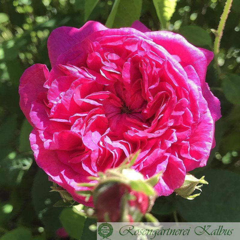 Historische Rose Surpasse Tout