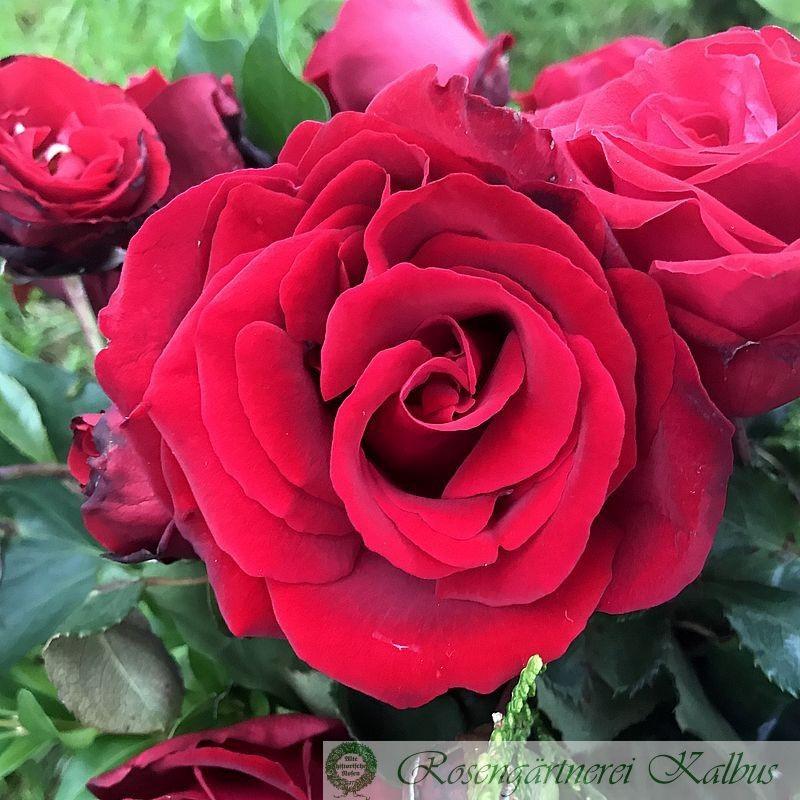 Besondere Rose Salammbo®