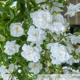 Sander´s White Rambler