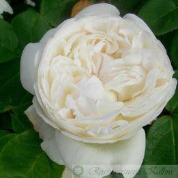 Historische Rose Snowdon