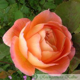 Besondere Rose Lady Emma Hamilton®