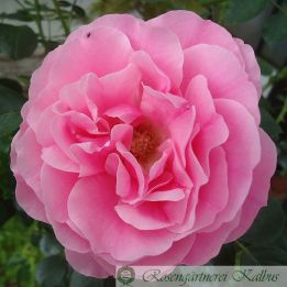 Moderne Rose Leonardo da Vinci®