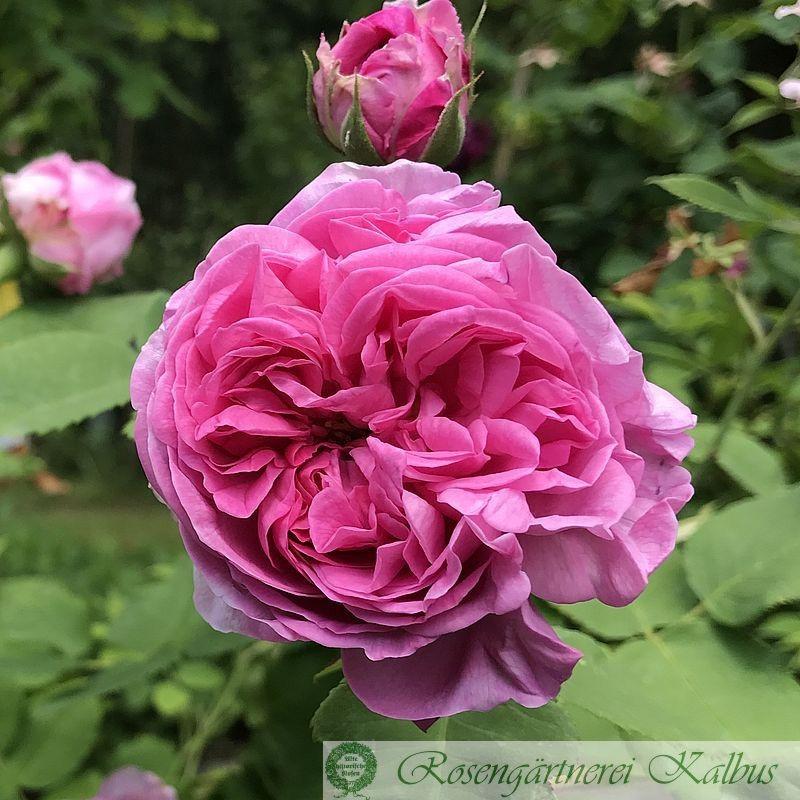 Historische Rose Louise Odier
