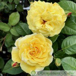 Moderne Rose Lichtkönigin Lucia