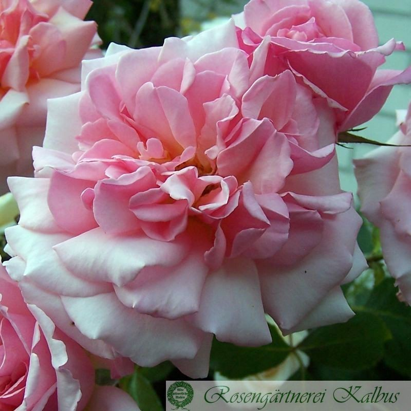 Besondere Rose Luciano