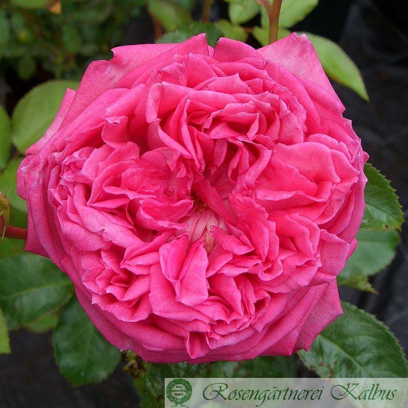 Strauchrose La Rose de Molinard®