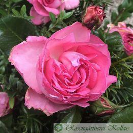 Besondere Rose La Rose de Molinard®