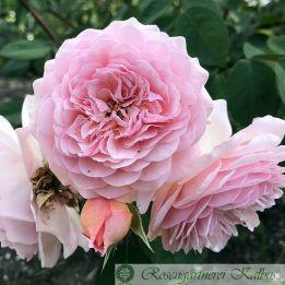 Besondere Rose Leander®
