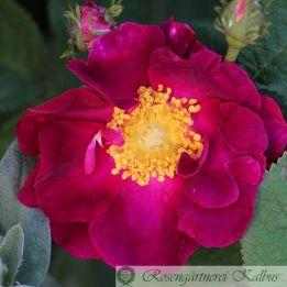 Historische Rose La Belle Sultane syn. Violacea