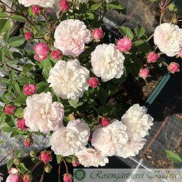 Historische Rose Little White Pet