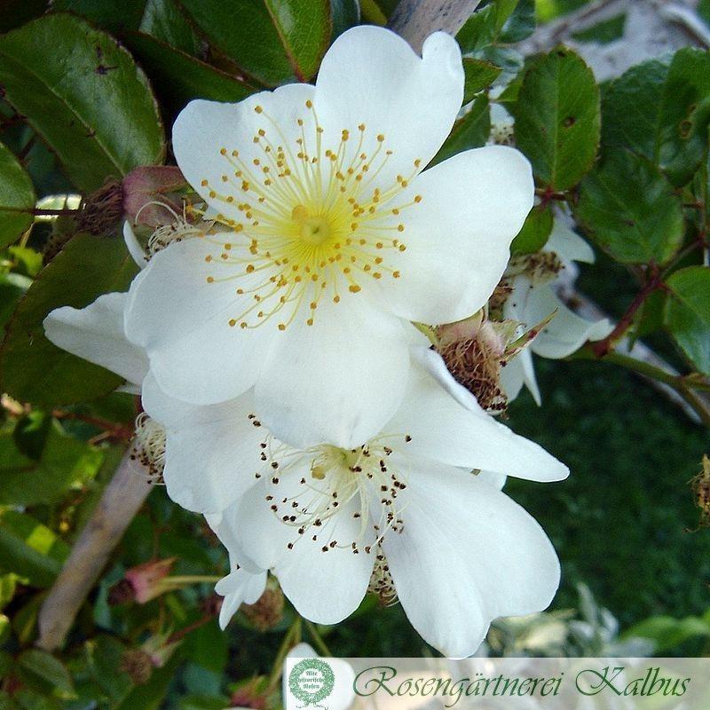 Ramblerrose Longicuspis