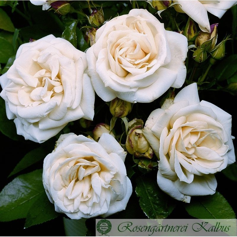 Moderne Rose La Paloma®