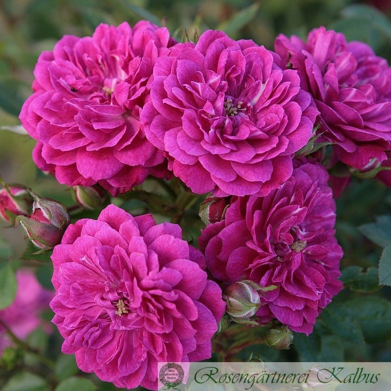 Moderne Rose Purple Rain®
