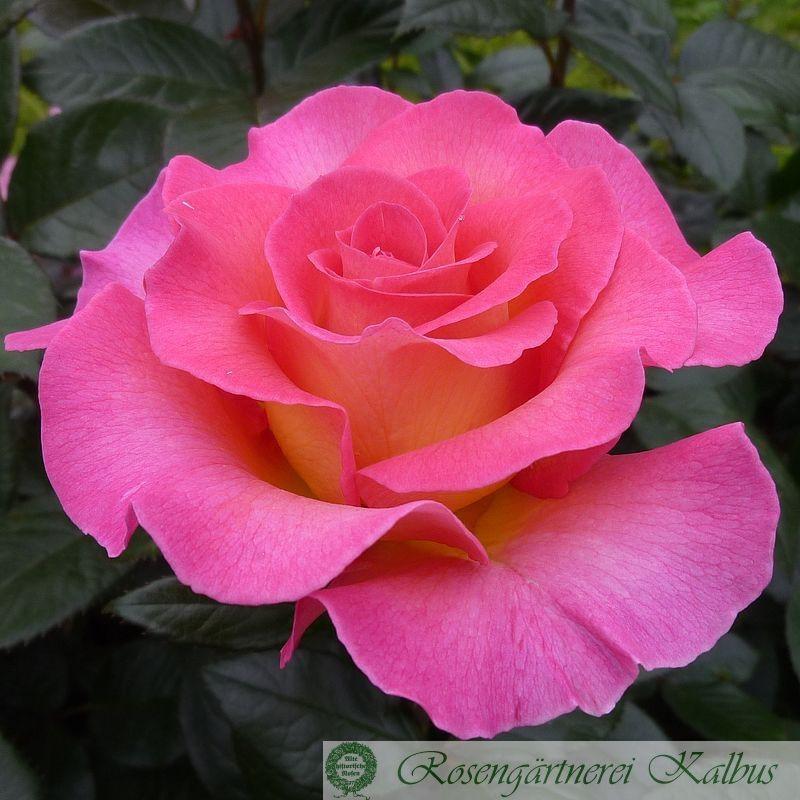 Besondere Rose Pink Paradise®