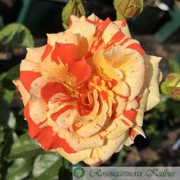 Moderne Rose Oranges and Lemons
