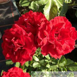 Moderne Rose Nina Weibull®
