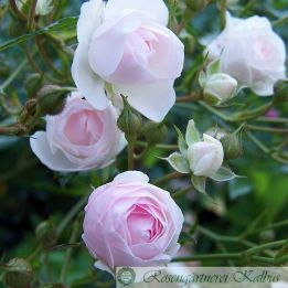 Besondere Rose Perlmuttprinzessin