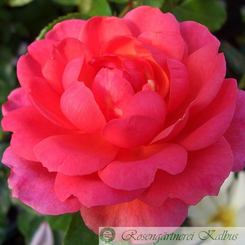 Besondere Rose Picatelli