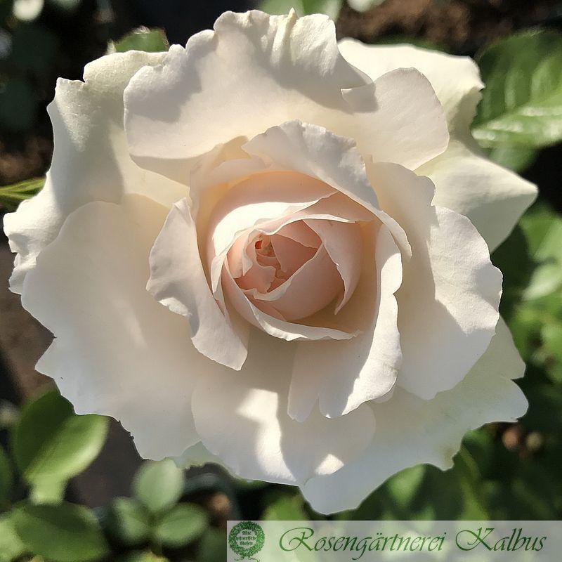 Moderne Rose Princess of Wales®