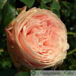 Besondere Rose Pronto