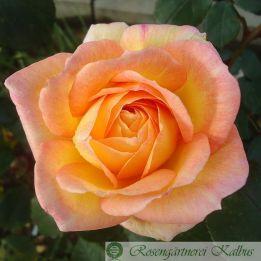 Moderne Rose Philippe Noiret®
