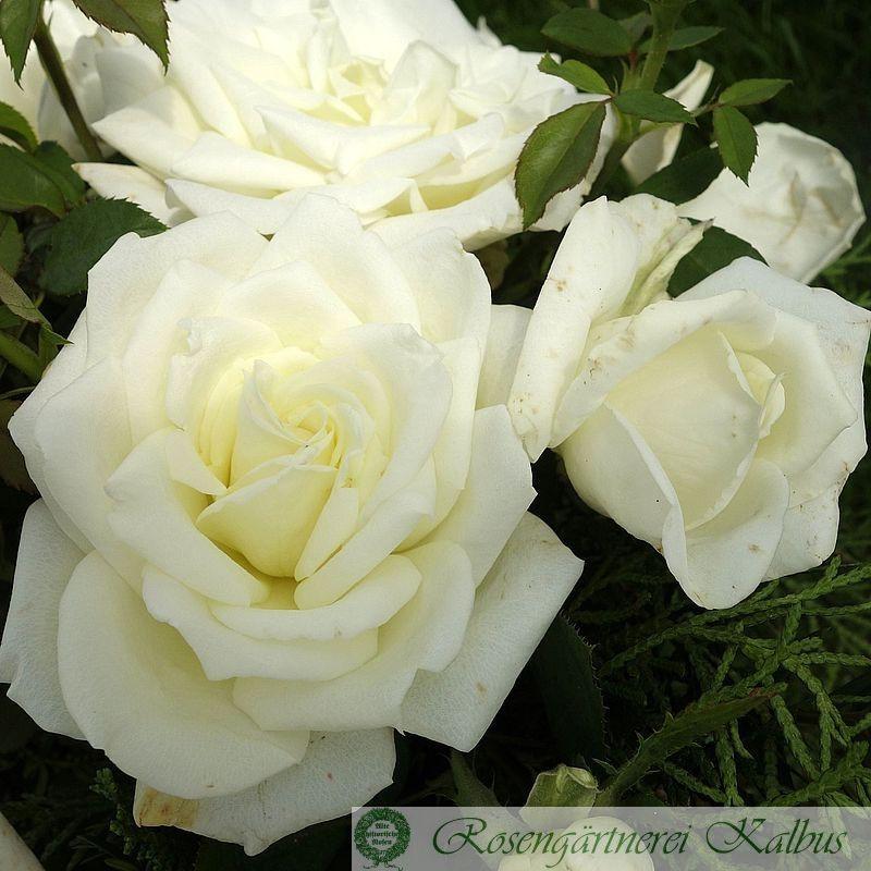 Moderne Rose Polarstern®