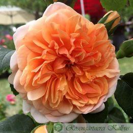Besondere Rose Port Sunlight®